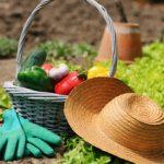 Salsa Container Gardening
